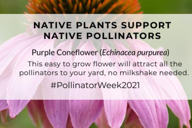 Native Plants Help Pollinators